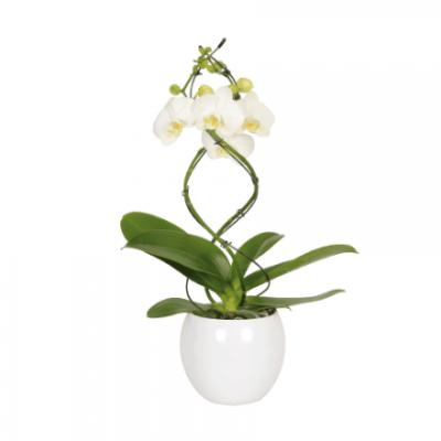 Twister orchidee